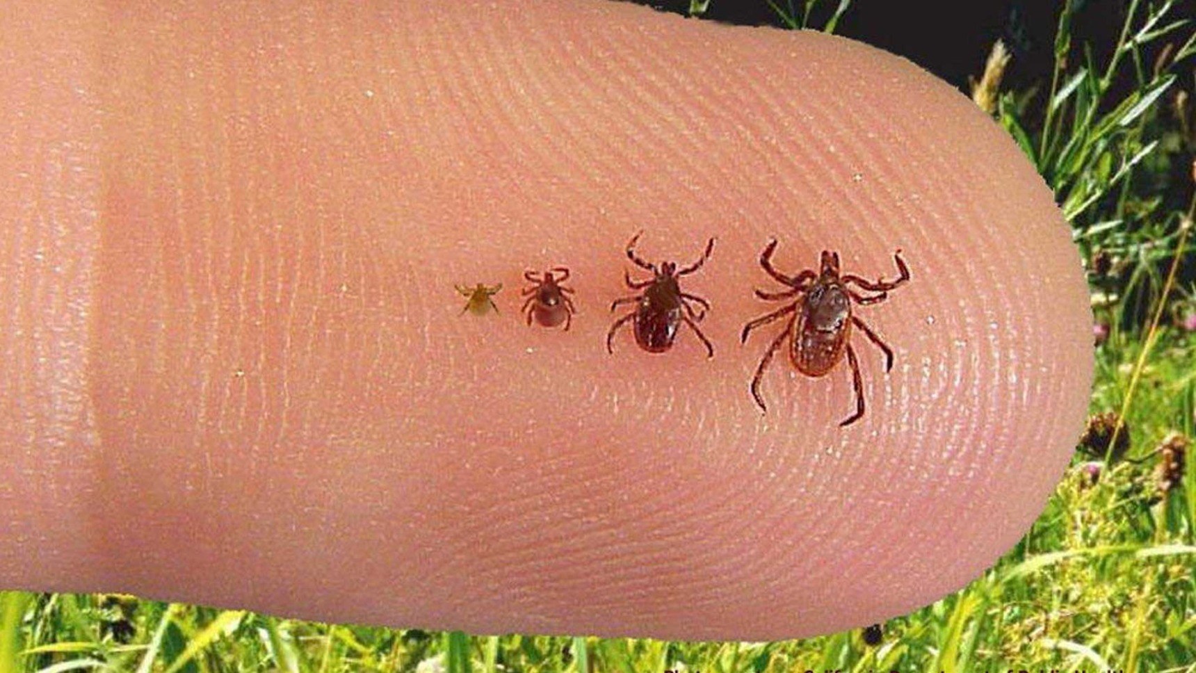 Ticks in the lawns of our customer in Summit, NJ.